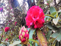 Rhododendron the nation flower of Nepal