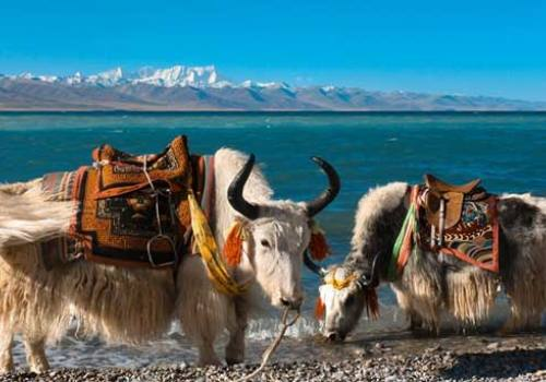Yak drink water at NAMTSO LAKE